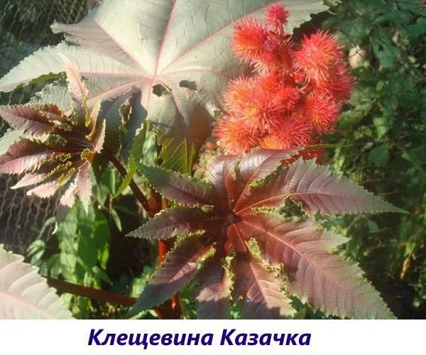 Как сажать и выращивать клещевину в открытом грунте. особенности ухода и сочетания с другими культурами