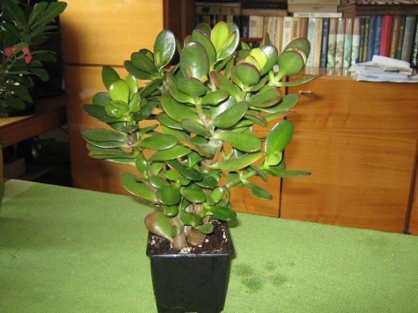 Опали или пожелтели листья у денежного дерева? узнай как вылечить растение!