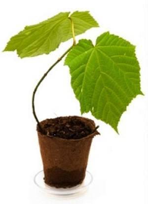 Надо ли делать дырки в торфяных горшочках. как сажать и выращивать рассаду помидор в торфяных горшочках. горшки для дома и сада: что выбрать