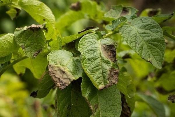 Болезни клубней картофеля: описание, фото и лечение