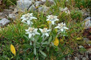 Легенды о цветах.эдельвейс. эдельвейс – горный цветок любви на дачном участке легенда об эдельвейсе где бросается с горы