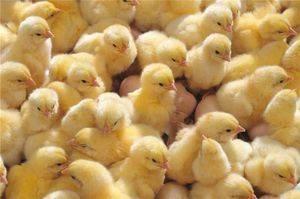 Правила кормления недельных цыплят