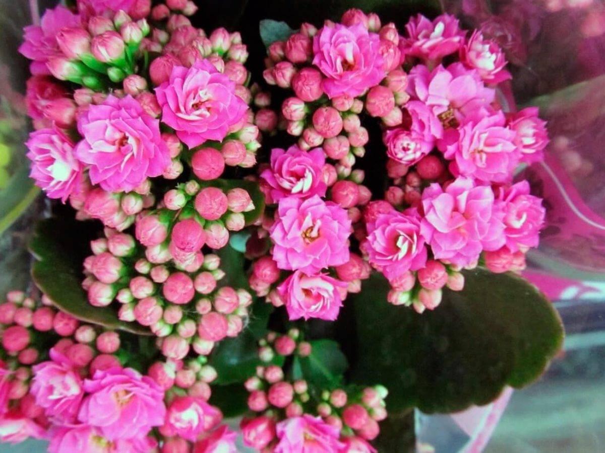 Болезни каланхоэ — лечим растение правильно
