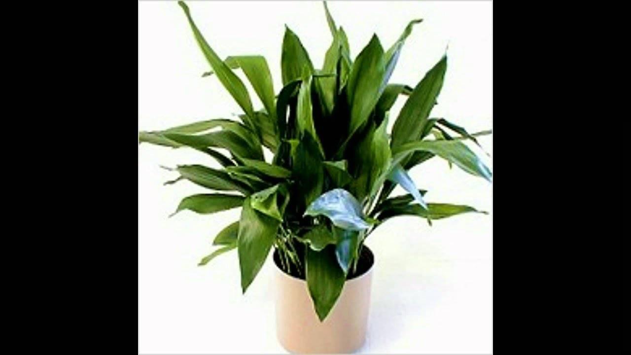 Тропическое растение аспидистра: уход в домашних условиях, фото, создание оптимальных условий для развития декоративной культуры