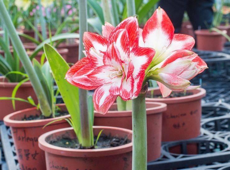 Каким должен быть уход за амариллисом в домашних условиях, чтобы цветок радовал своей красотой?