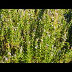 Как правильно выращивать розмарин в квартире при помощи семян или веточек