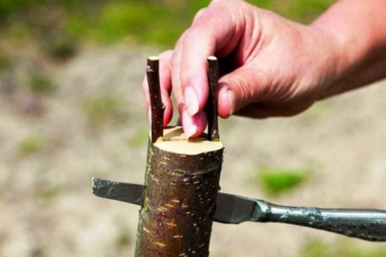Важная информация: когда прививать яблони, лучшие сроки