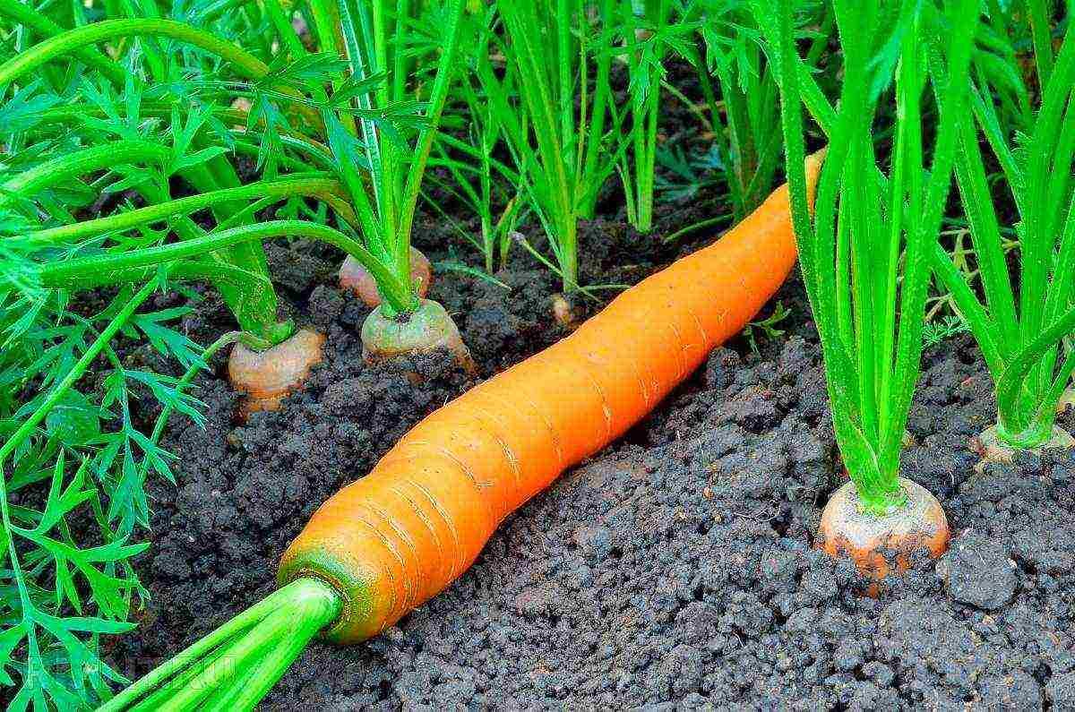 Когда наступает последний срок посадки моркови? какие факторы влияют на определение времени?
