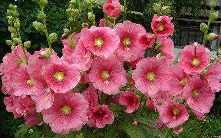 Шток-роза: выращивание из семян когда сажать