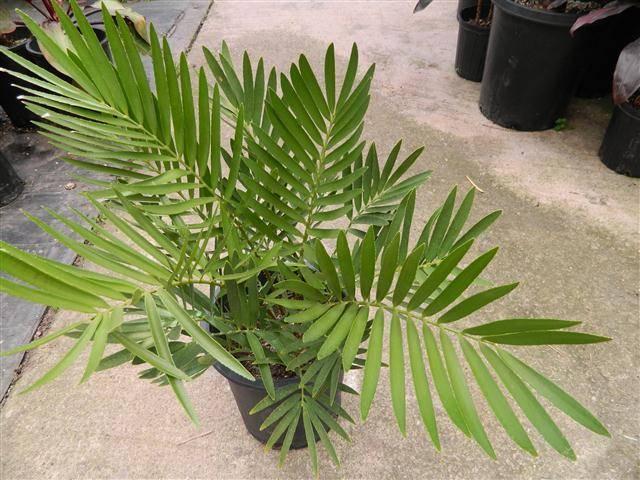 Замия: описание комнатного растения, уход и выращивание в домашних условиях, фото