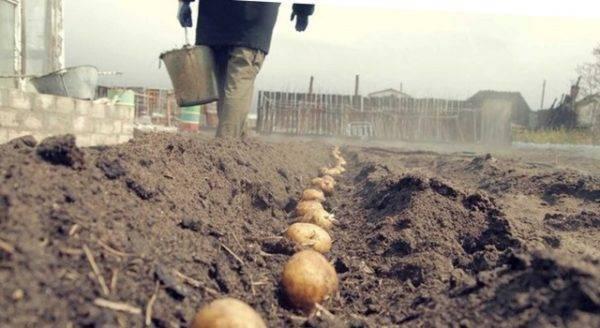 Любительское руководство: как сажать картофель в открытый грунт