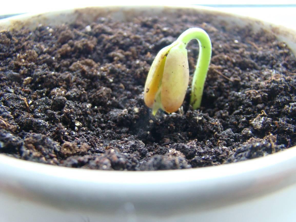 Ядовитая, но полезная: как правильно вырастить клещевину в своем саду