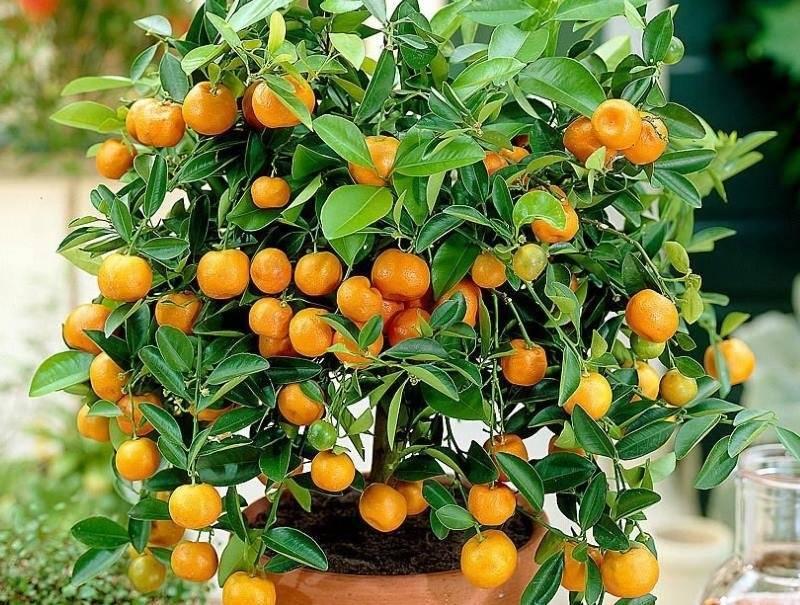 Каламондин: описание и выращивание в домашних условия