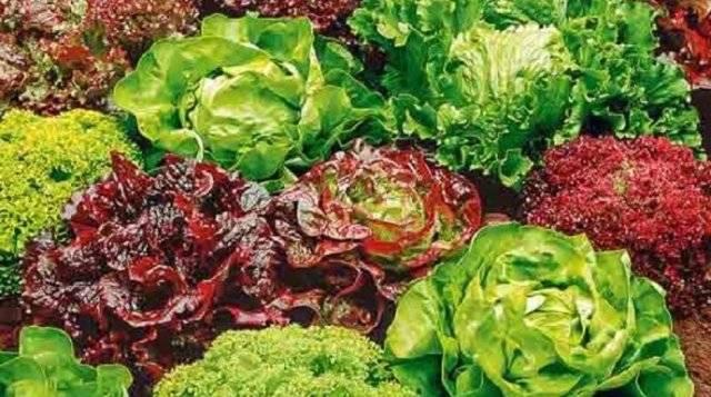 Салат - выращивание и уход в открытом грунте