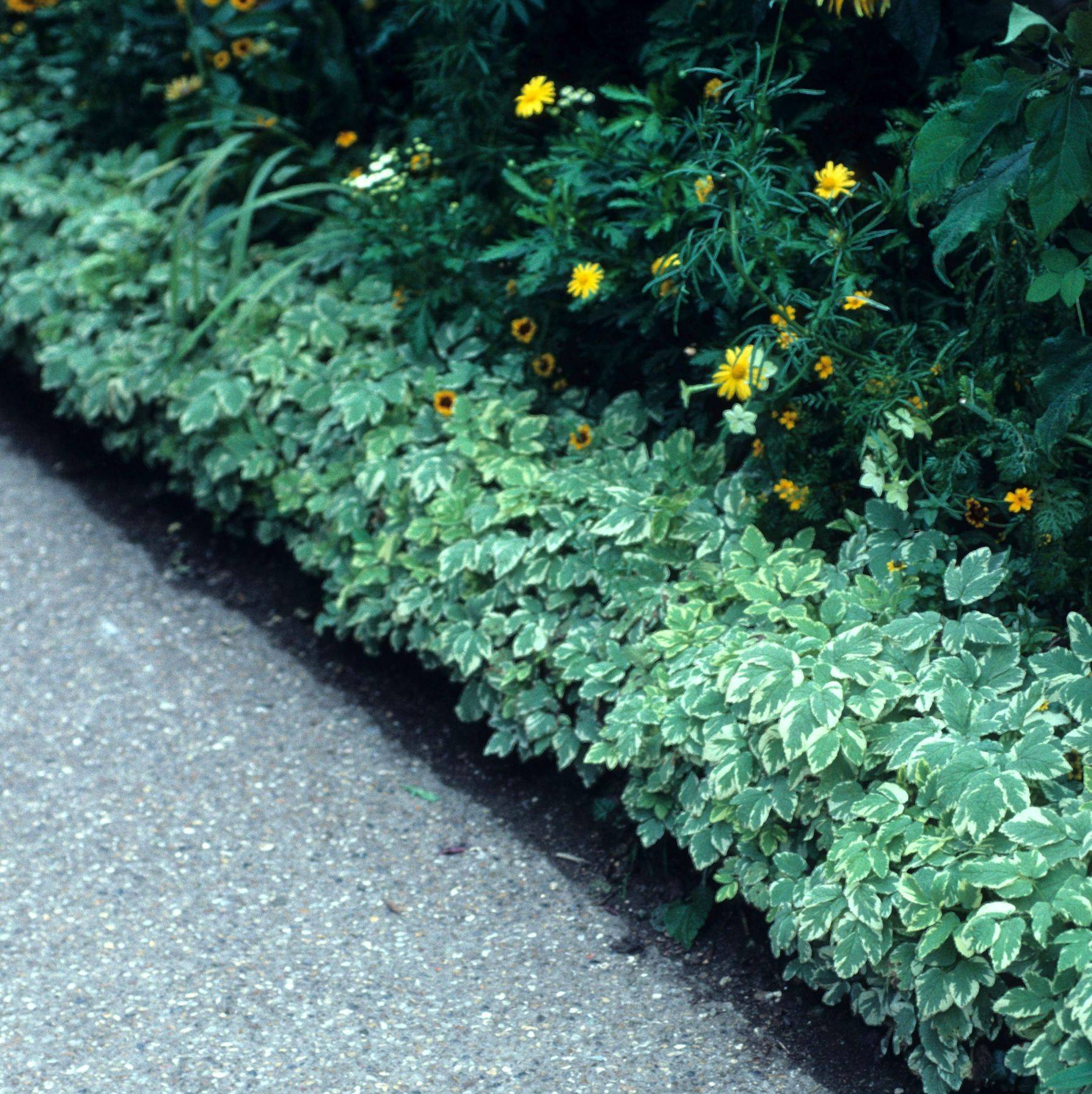 Трава сныть пестролистная: особенности посадки и полезные свойства
