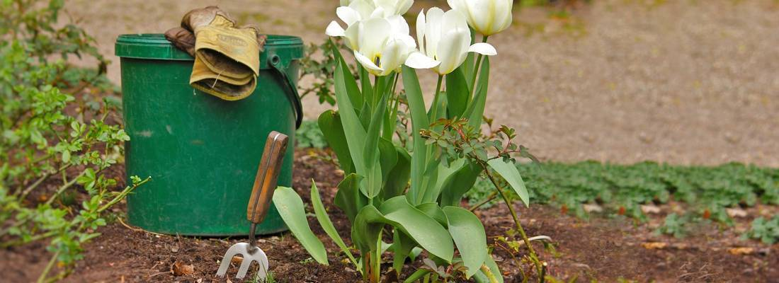 Когда выкапывать нарциссы после цветения?