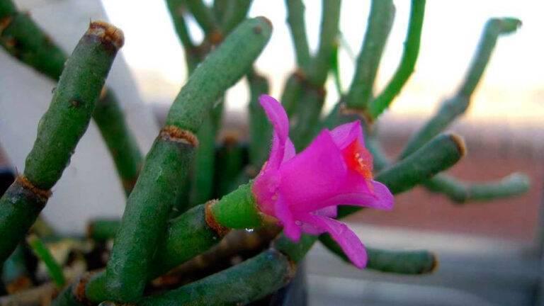 Хатиора: уход в домашних условиях, фото, размножение, советы по цветению