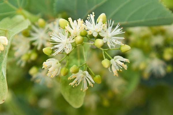 Цветы липы, их лечебные свойства и противопоказания
