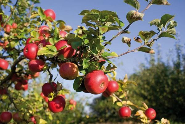 Выращивание корнесобственных саженцев яблони