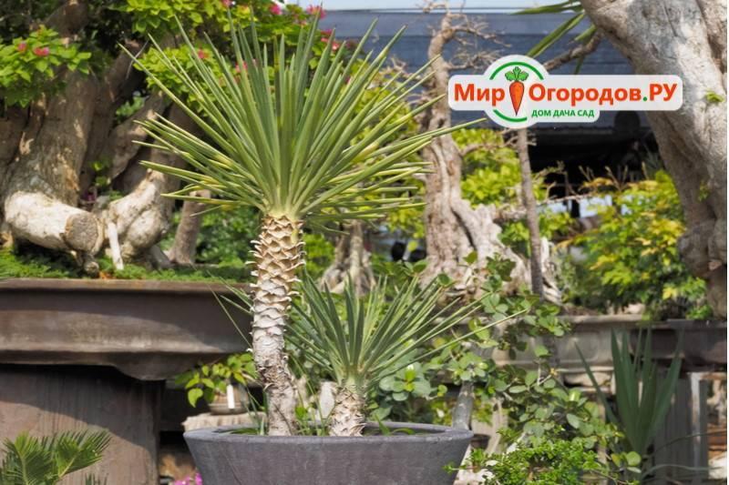 Садовая юкка – как вырастить белоснежную гостью? советы с фото