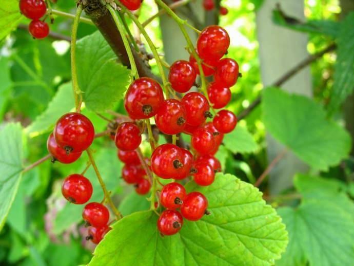 Сахарная – обзор сорта красной смородины и правила её выращивания