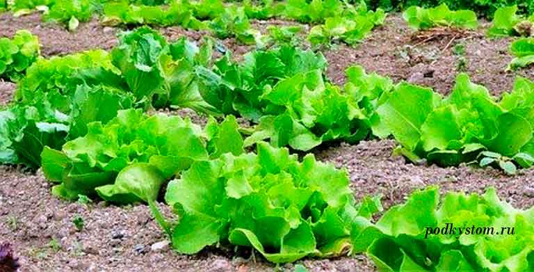 Всё о выращивании салата айсберг: от посадки семян и до сбора урожая