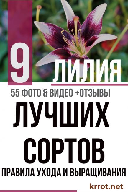 Домашняя лилия в горшке — тонкости выращивания