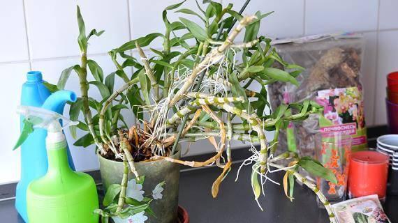 Дендробиум — благородная орхидея