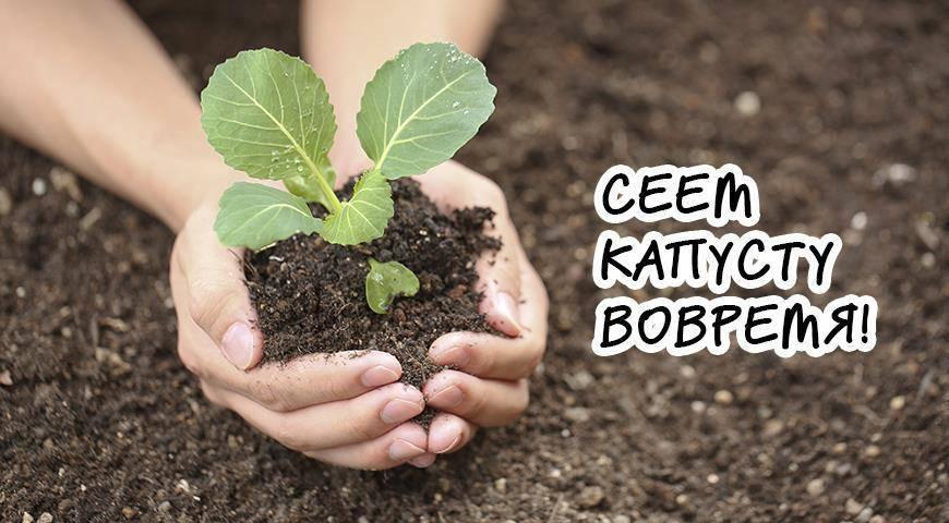Учимся выращивать брокколи в открытом грунте