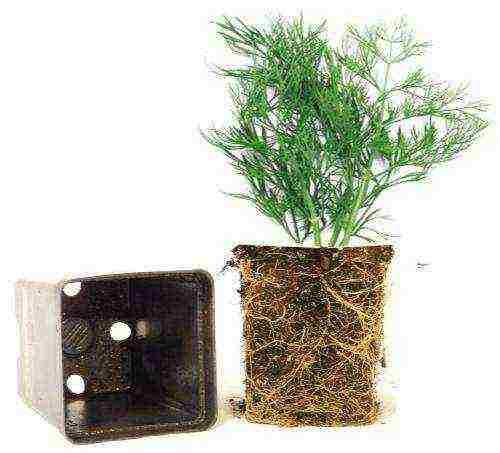 Выращивание укропа в открытом грунте. посадка весной, летом и осенью, правила ухода за культурой