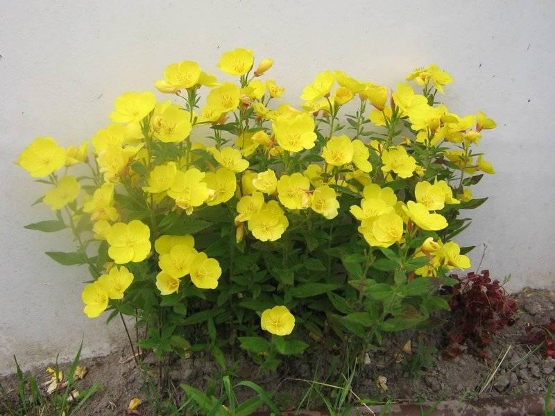 Выращивание энотеры многолетней из семян, тонкости посадки и ухода