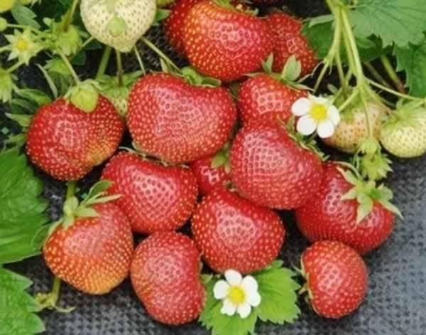 Какие сорта клубники лучше выбрать для подмосковья для открытого грунта, выращивание