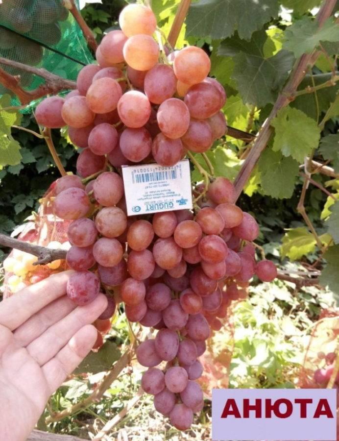 Виноград «анюта»: описание сорта, фото и отзывы