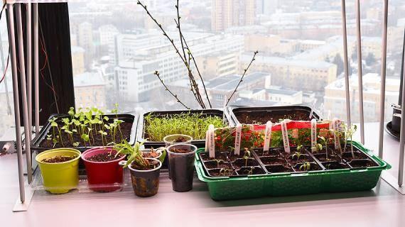 Узнайте, что сеять в январе на рассаду: какие цветы, овощи, ягоды, как ухаживать за рассадой