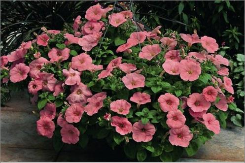 10 необычных сортов петунии для вашего цветника