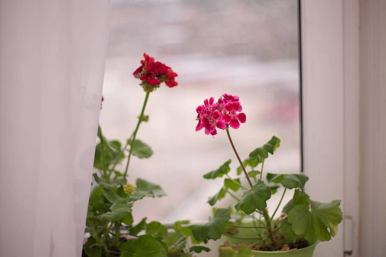 Почему у комнатной герани желтеют листья? что делать, чтобы спасти цветок?