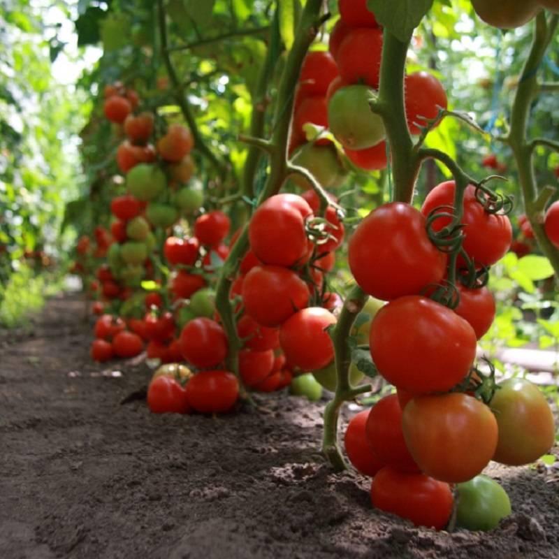Описание сорта и особенности выращивания гибридного томата «марьина роща»