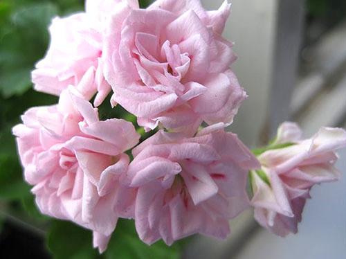 Пеларгония розебудная — как ухаживать за геранью