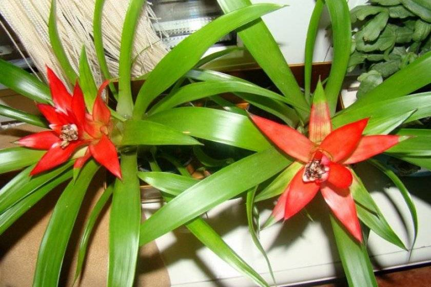 Гузмания: выращивание, размножение, виды