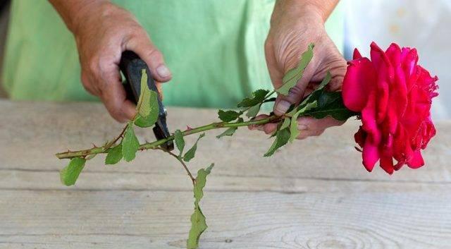 Как посадить розу в картошку и чем хорош этот способ?