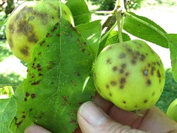 Что делать, когда сохнут листья у яблони? советы садоводов