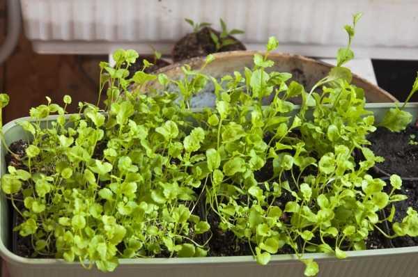 Лобелия: посадка и уход, выращивание из семян