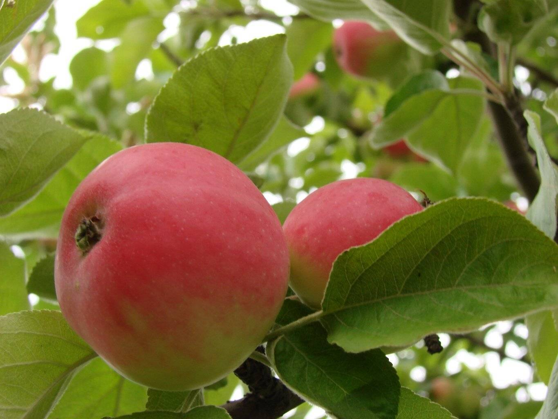 Яблоня медуница: описание сорта, особенности выращивания и ухода