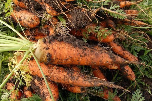Нужно ли прорастить семена моркови перед посадкой? как это сделать быстро?