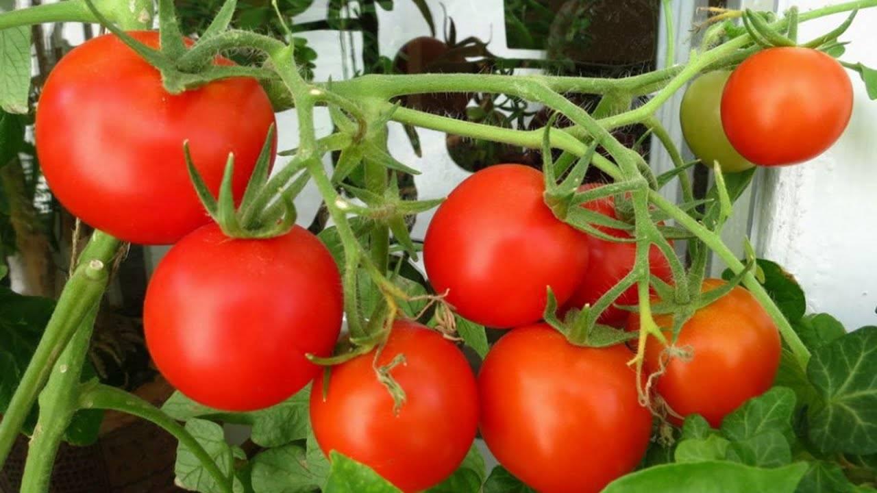 Выращивание помидоров черри на подоконнике