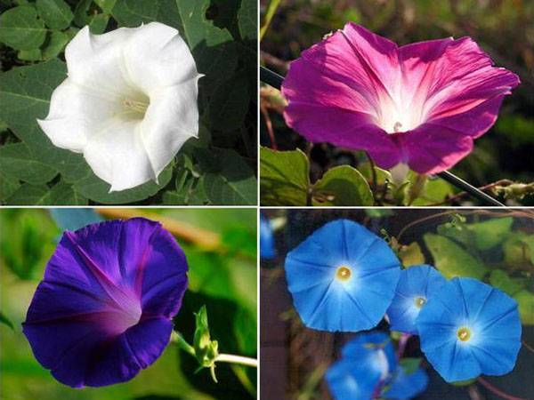 Ипомея квамоклит: описание, посадка и уход, особенности выращивания