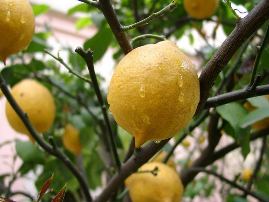 Лимон из косточки в домашних условиях — 110 фото как вырастить вкусный лимон быстро и просто