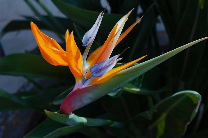 Цветок стрелиция в домашних условиях – уход и размножение