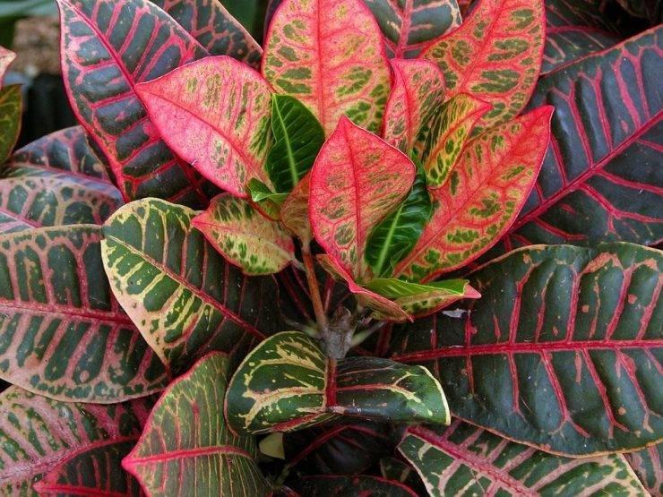 Почему у вашего кротона сохнут и опадают листья