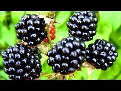 Малина: полезные свойства и противопоказания ягод и листьев